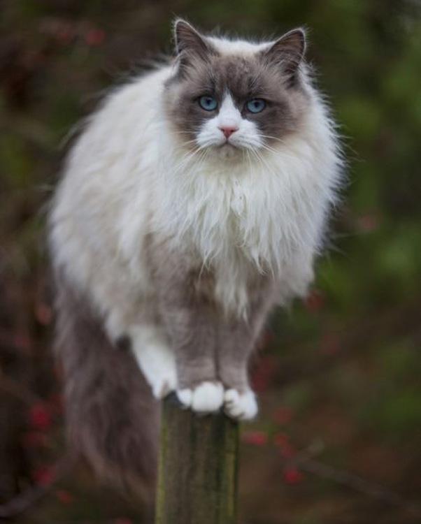 Ragdoll-Kitty.jpg