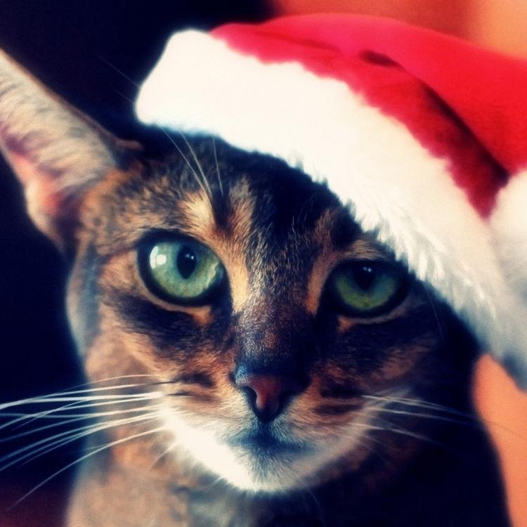 cat_tabby_face_hat_christmas_red_72672_2048x2048.jpg
